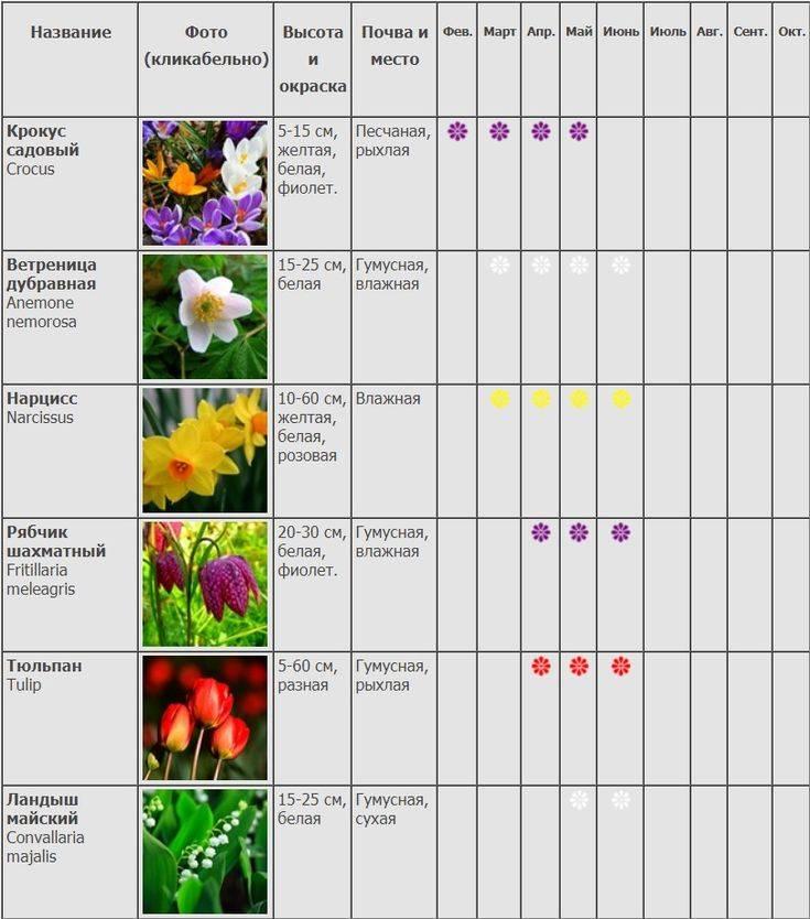 Клеродендрум томпсона: уход и размножение черенками в домашних условиях