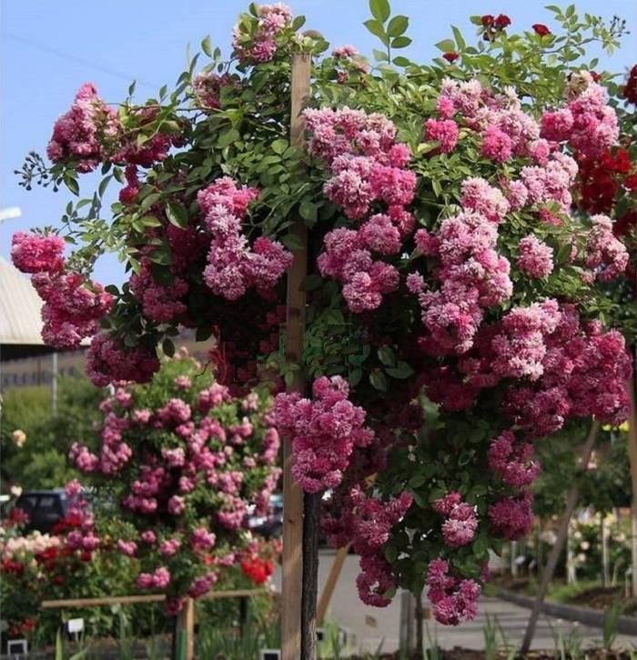 Особенности плетистой розы эксцельза и её версии супер: что это за сорт рамблера