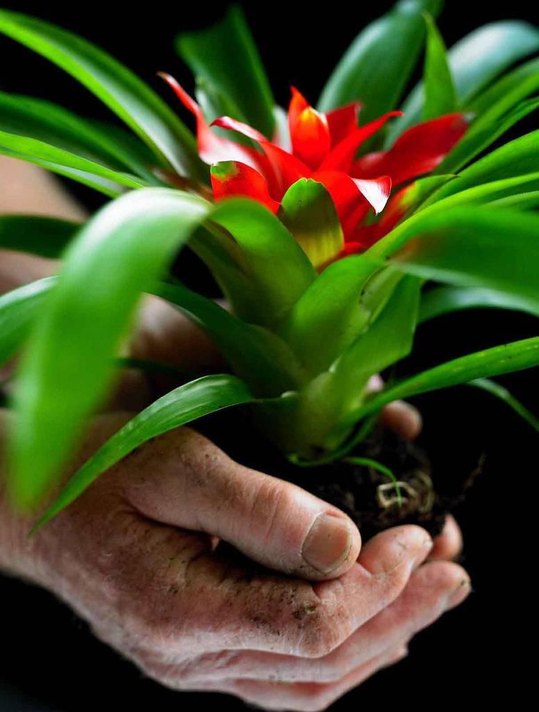 Бромелия: особенности ухода за тропическим растением