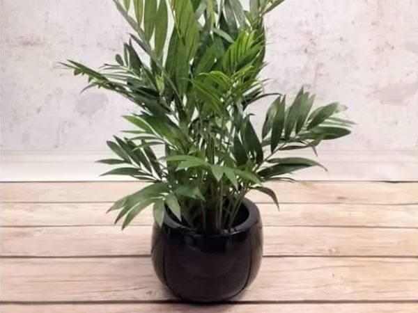 Пальма арека — выращивание в домашних условиях и правила ухода