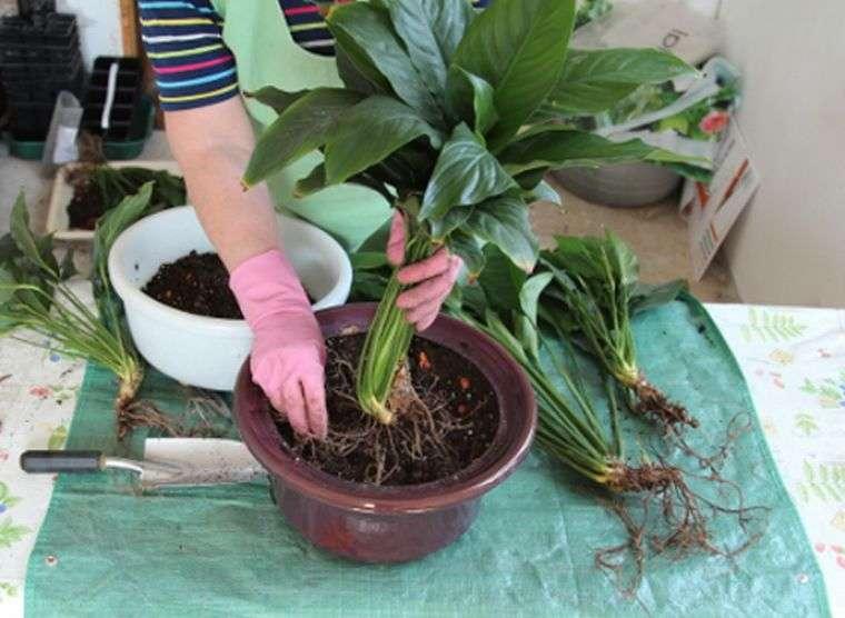 Как посадить алоэ правильно дома