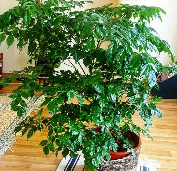 Радермахера (33 фото): уход в домашних условиях. почему у растения опадают листья? описание вида радермахера китайская или синика, цветение и размножение