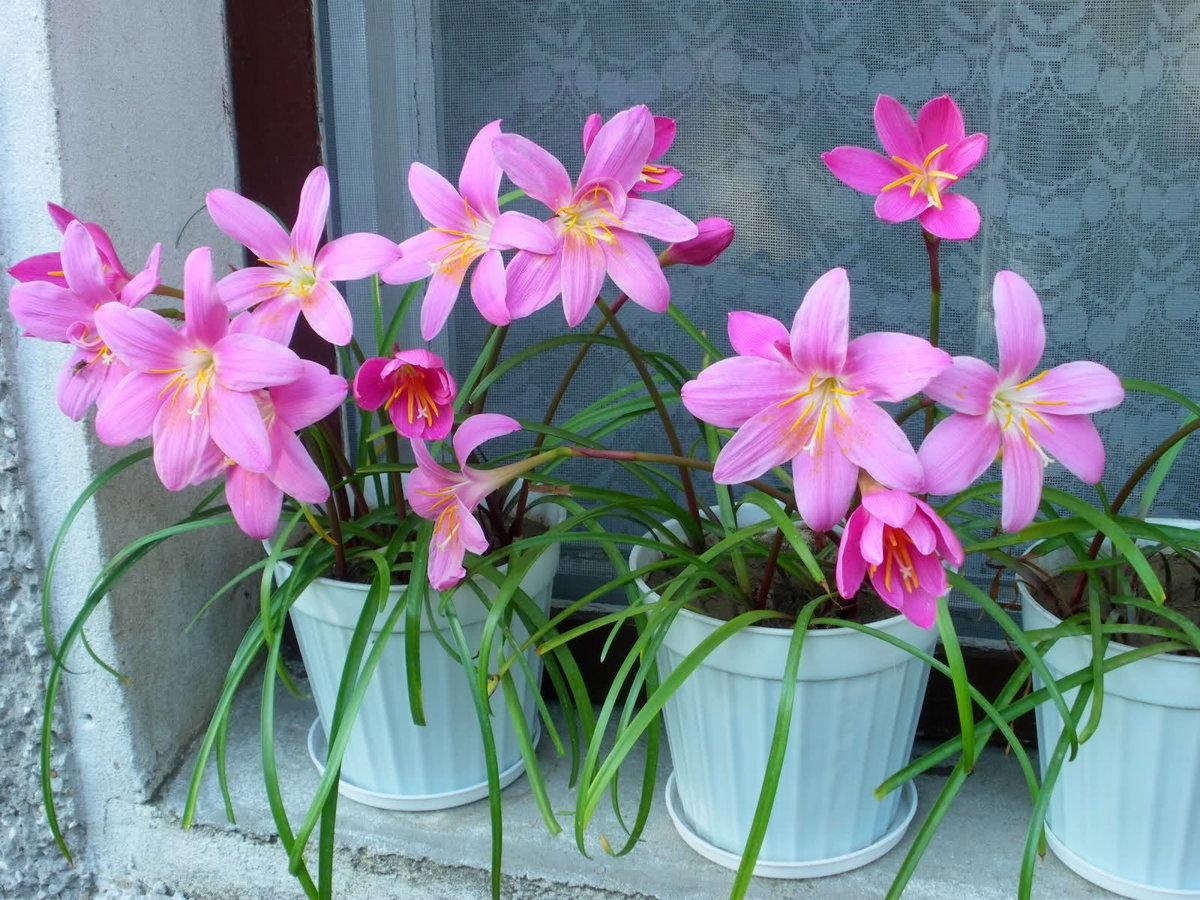Зефирантес — уход в домашних условиях за цветком