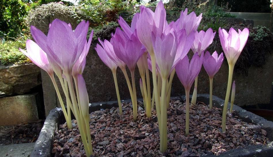 Цветок безвременник: посадка и уход, размножение