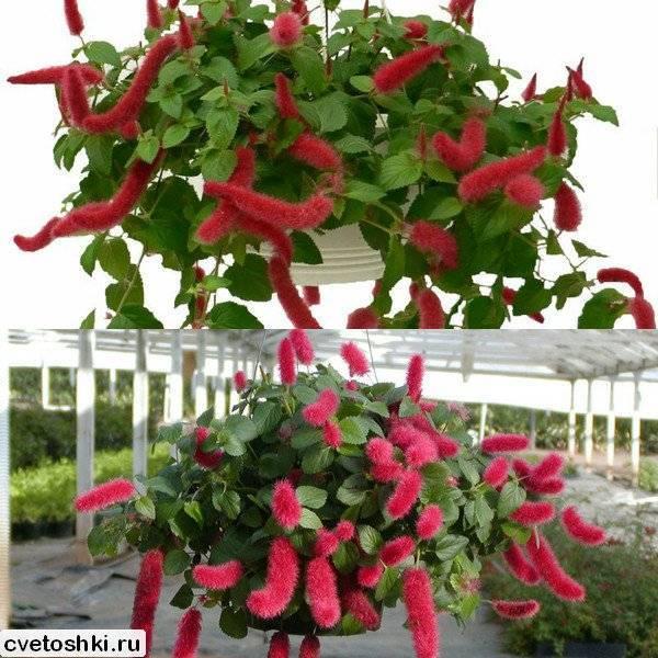 Комнатное растение — акалифа, популярные виды с фото и описанием