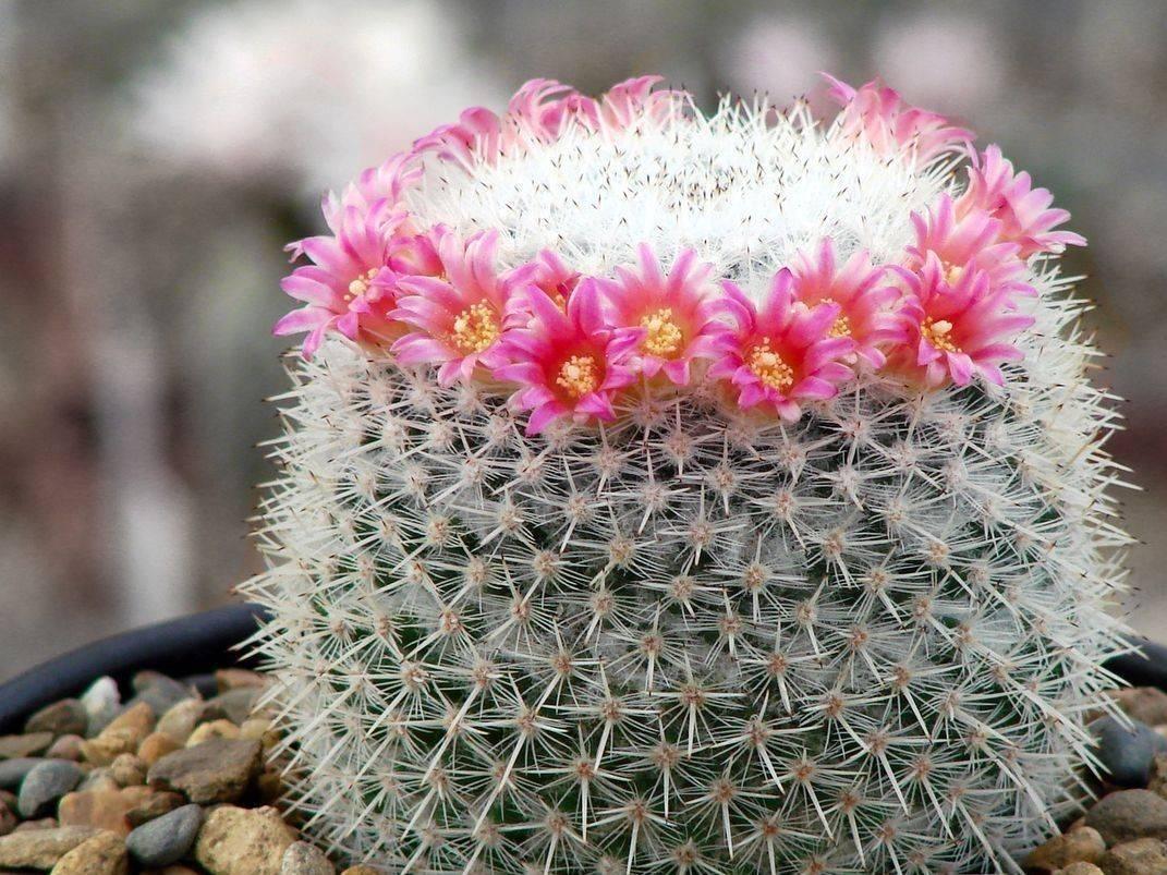 Цветение маммиллярии в домашних условиях: уход за кактусом в это время и после, и как часто он набирает бутоны, как быть, когда их нет, почему не может зацвести?