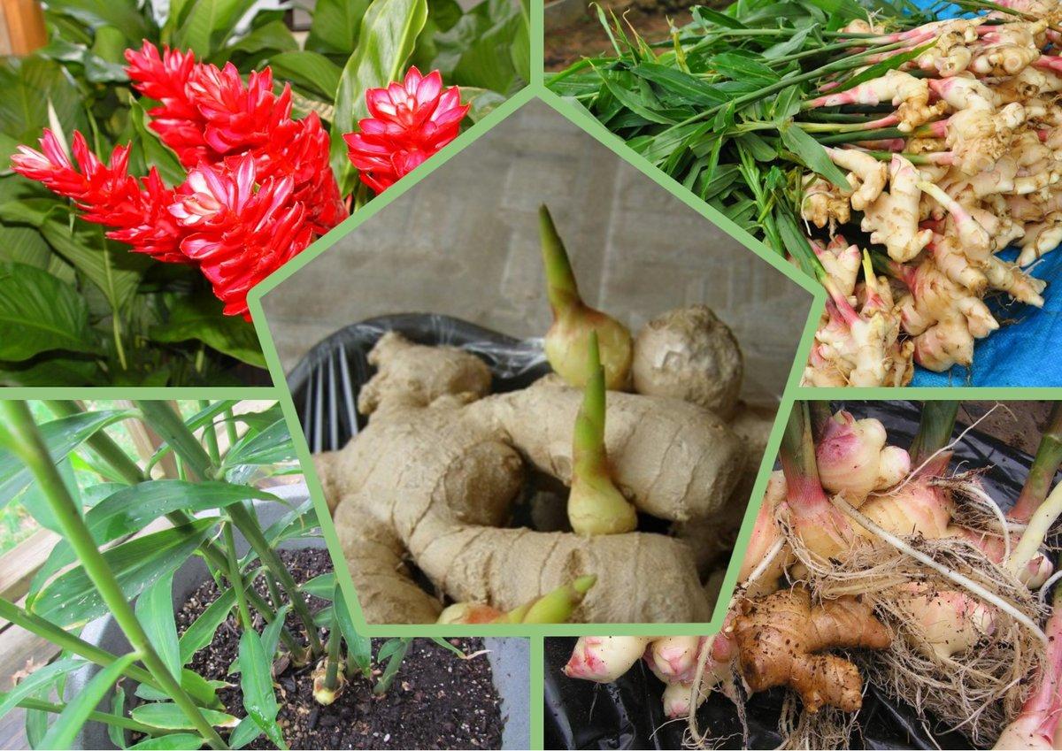 Как в домашних условиях вырастить имбирь: правила выращивания