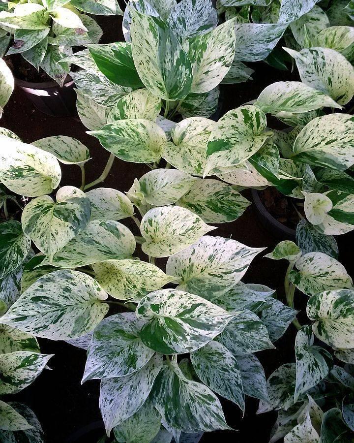 Эпипремнум - комнатная лиана - выращивание, уход, лечение