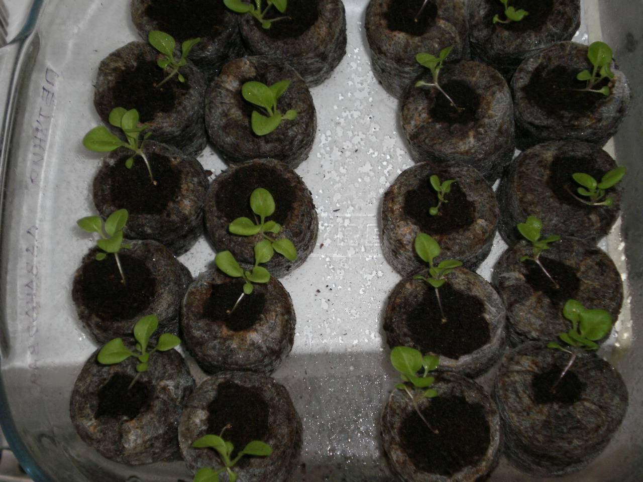 Посадка петунии семенами на рассаду в домашних условиях.