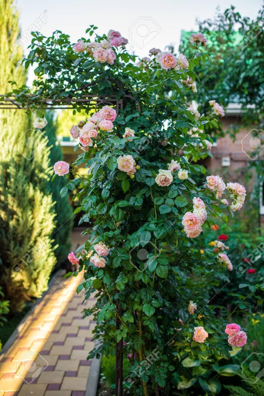 Роза «розариум ютерсен» (30 фото): описание плетистого сорта кордеса, уход за розами и отзывы о них