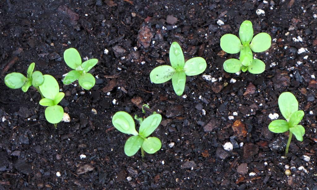 Как вырастить цинии в открытом грунте. базовые советы