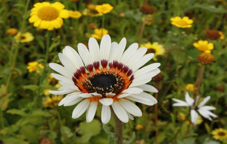 Как называются цветы похожие на ромашки