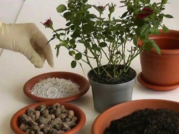 Уход в домашних условиях за бальзамином: выращивание из семян, размножение и пересадка
