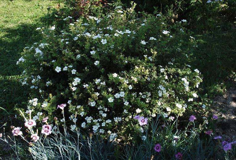 Кустарниковая лапчатка — как выглядит, виды и сорта
