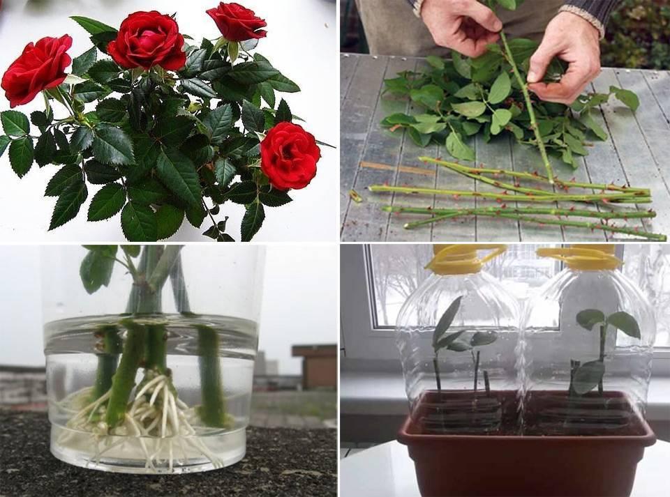 Черенкование роз в домашних условиях (лучшие способы)