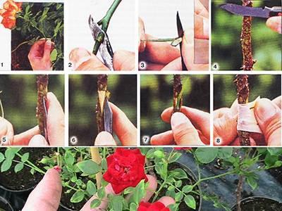 Как вырастить розу из семян: есть ли зерна у цветка для посева и размножения, как правильно провести стратификацию, можно ли их сажать и когда, дальнейший уход, фото