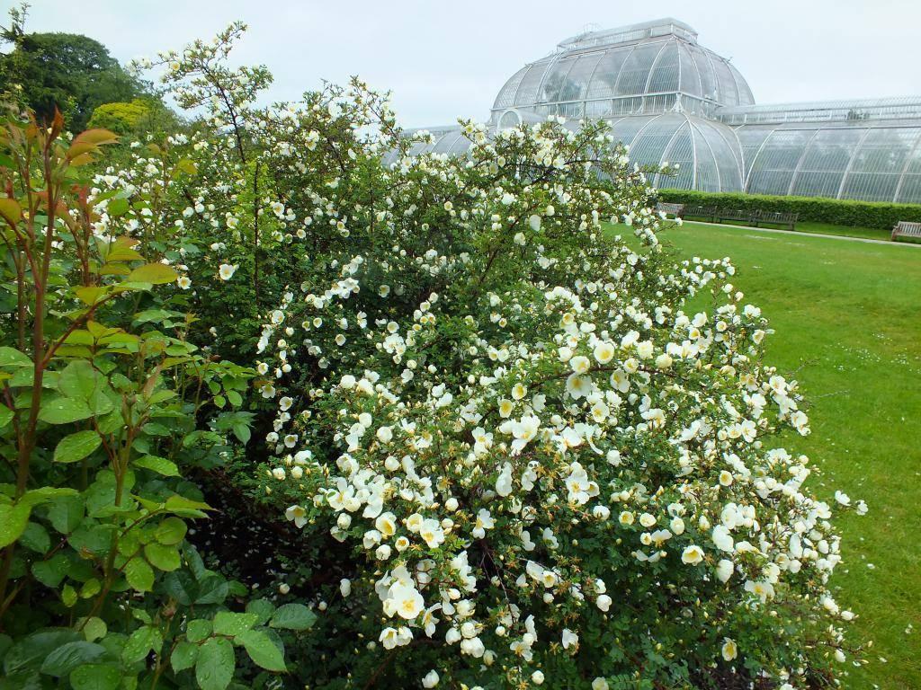 Шиповник: фото и описание растения - энциклопедия цветов