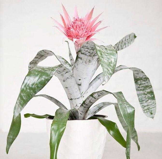 Эхмея полосатая: особенности ухода за цветком в домашних условиях