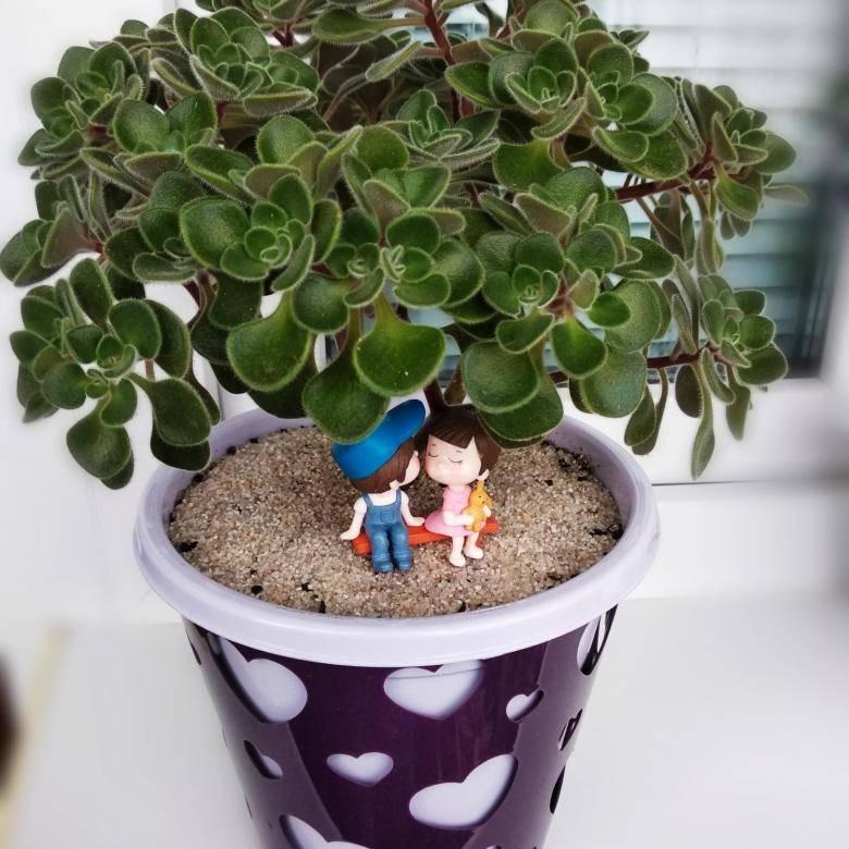 Маленькое дерево большой любви и счастья — аихризон