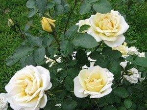 Роза Джей Пи Коннел (J. P. Connell) — описание желтого сорта