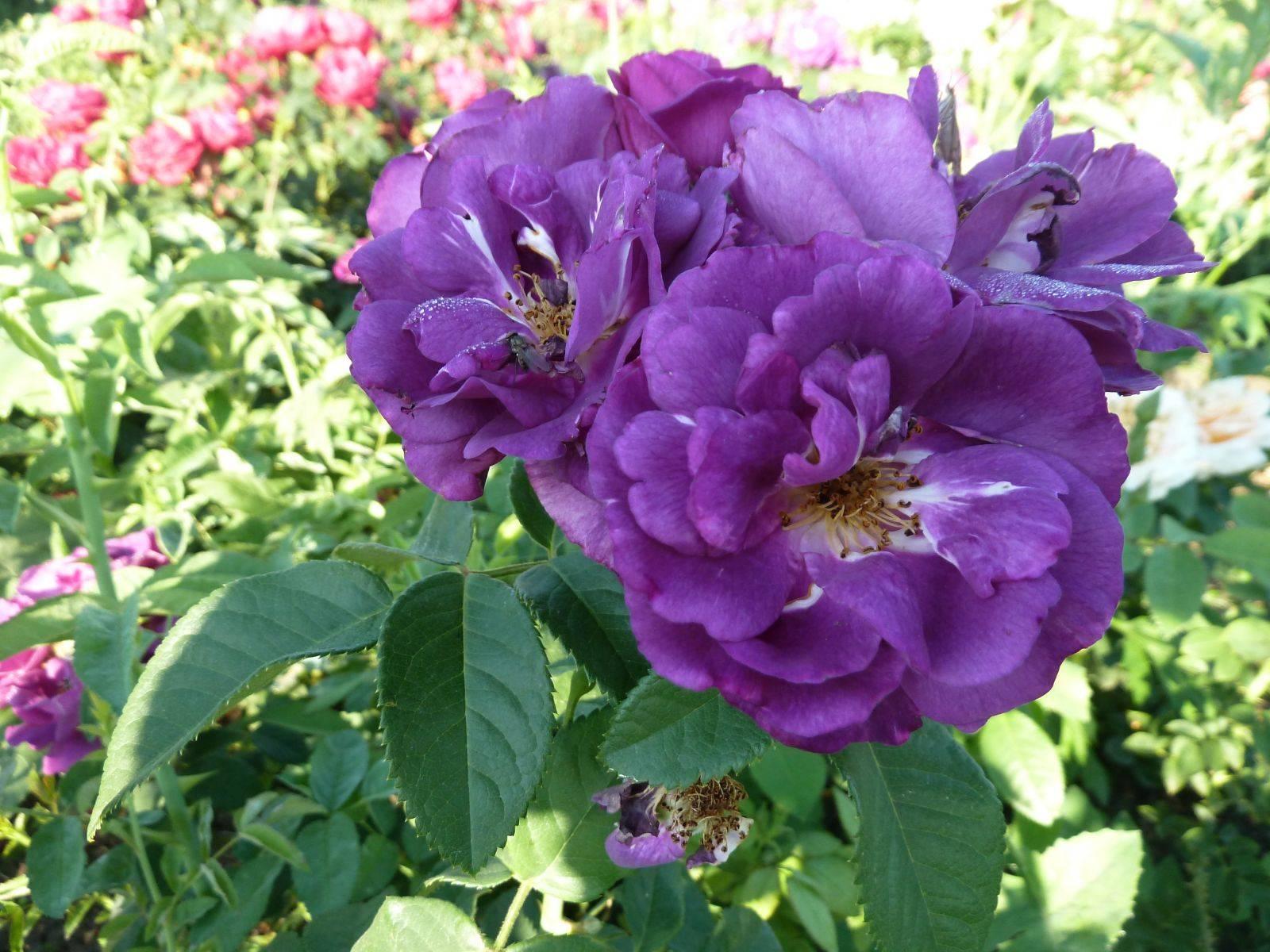 Описание и тонкости выращивания розы сорта блю фо ю
