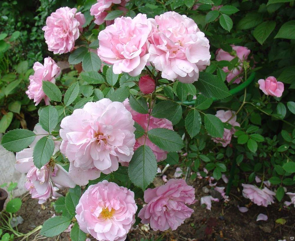 Выращивание канадской парковой розы мартин фробишер: как посадить и ухаживать