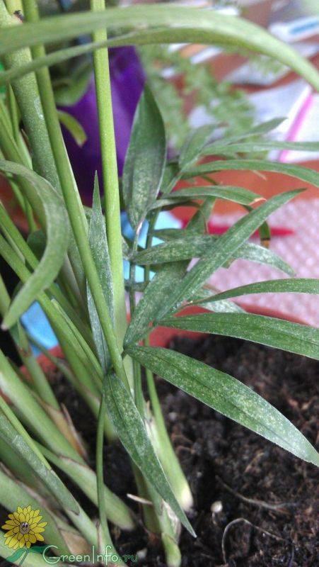 Почему сохнут кончики листьев у хамедореи. почему сохнут листья у хамедореи?