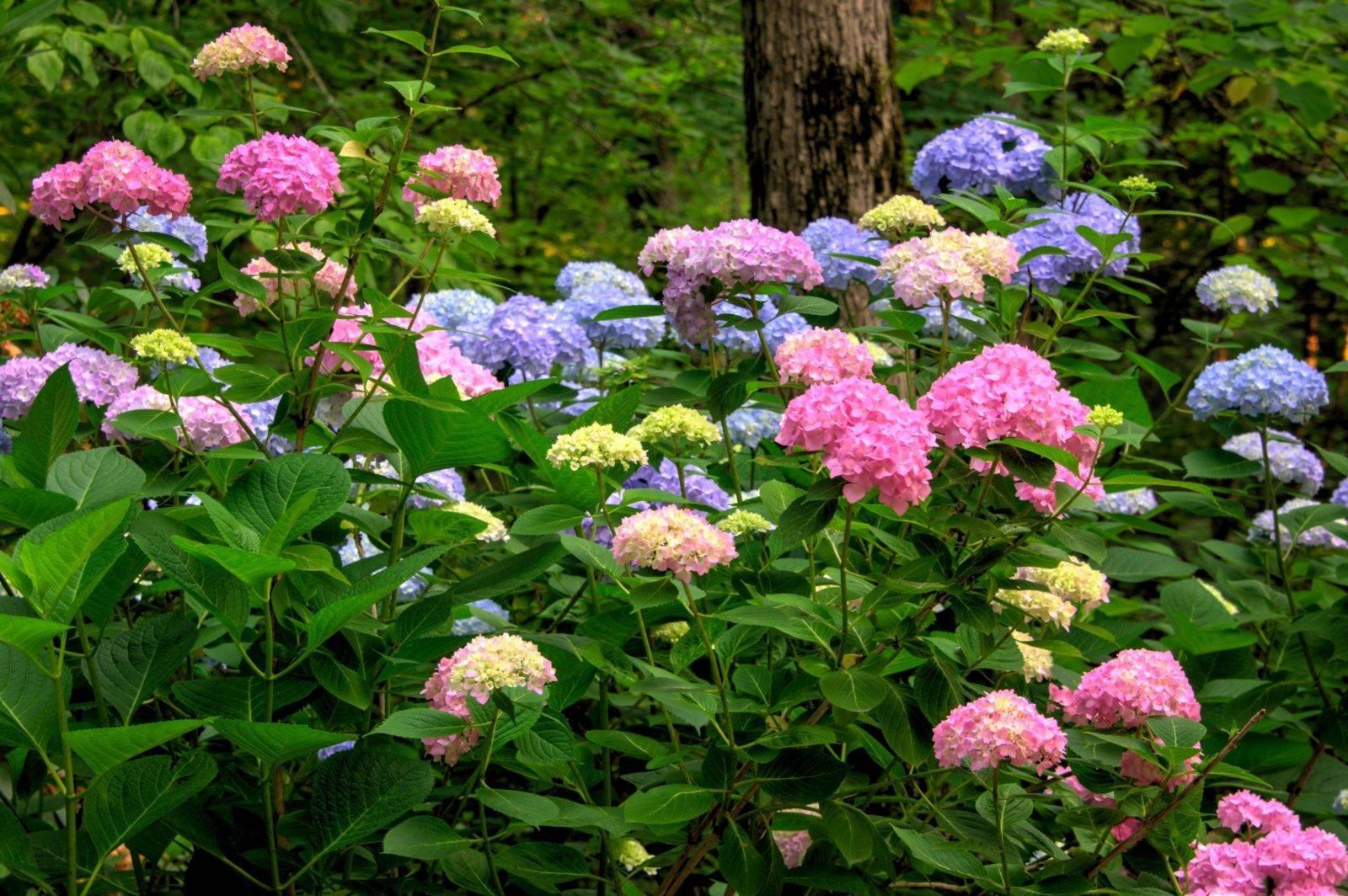 Гортензия: уход, обрезка, удобрение, почему не цветет в саду весной и что делать?