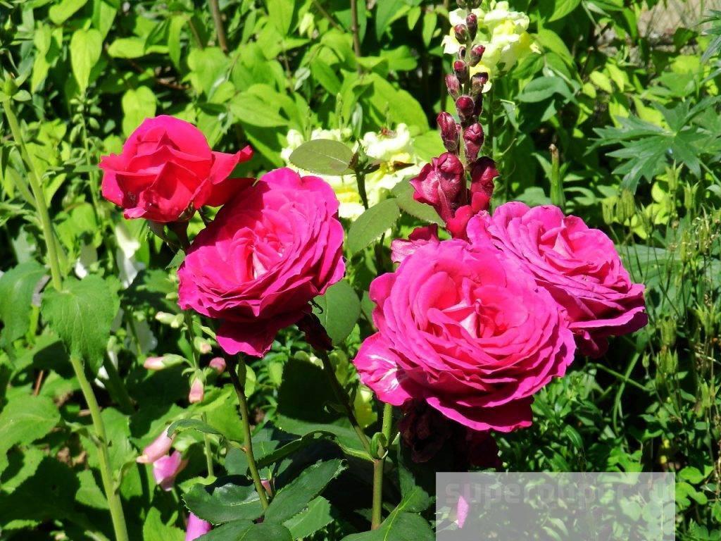 Чем отличаются парковые розы от чайно-гибридных?