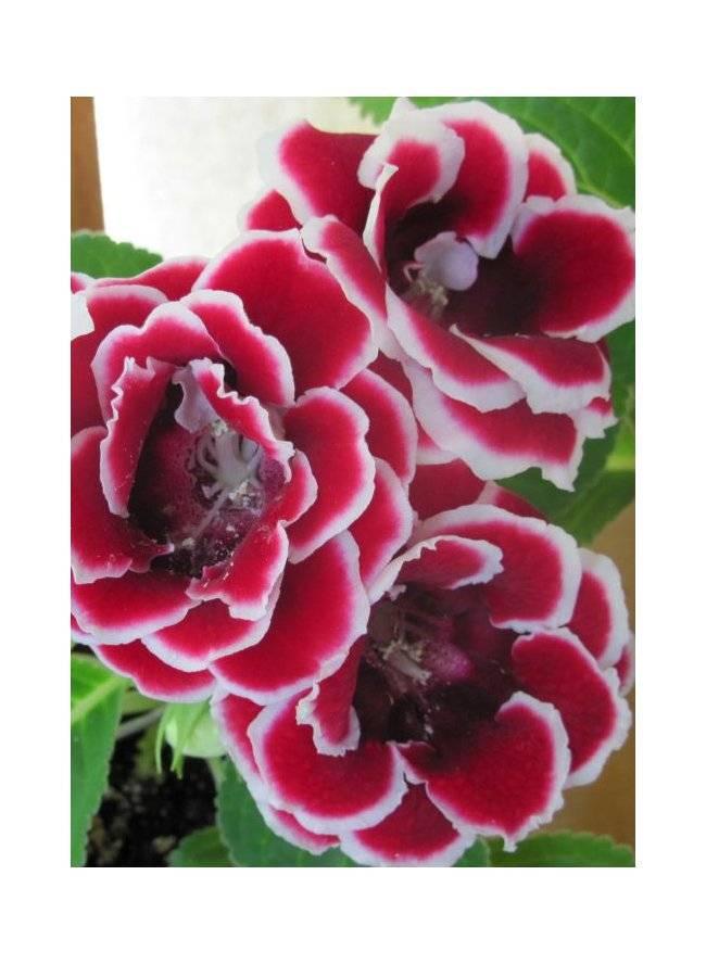 Как выглядит глоксиния махровая — виды цветка