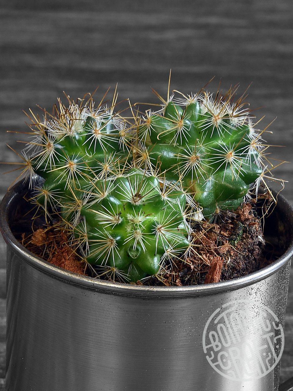 Период и время цветения кактусов: условия по уходу и выращиванию растения дома