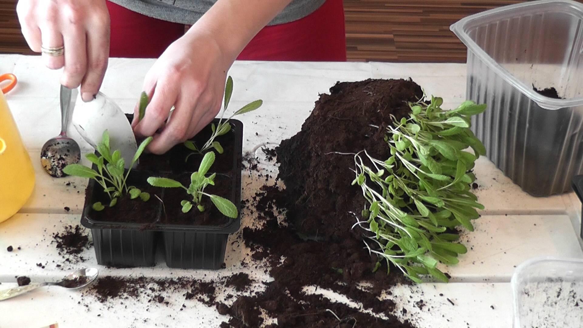Астры выращивание из семян когда сажать и как сажать - пошаговая инструкция!