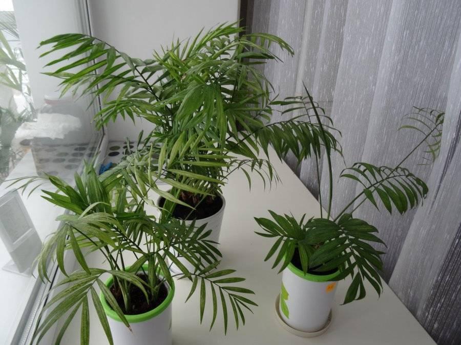 Хамедорея (бамбуковая пальма): уход в домашних условиях