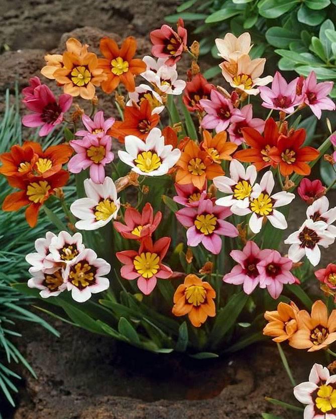 Цветы спараксис: описание и выращивание растения