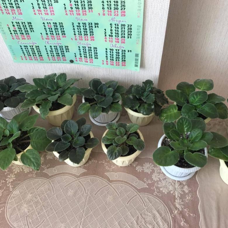 Почему не цветет гиппеаструм — растут только листья