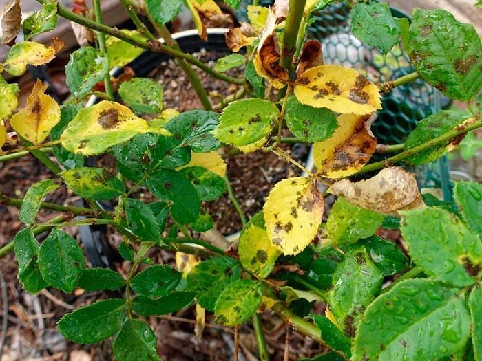 Как избавиться от зелёных мошек на садовых розах: что делать, чем обработать