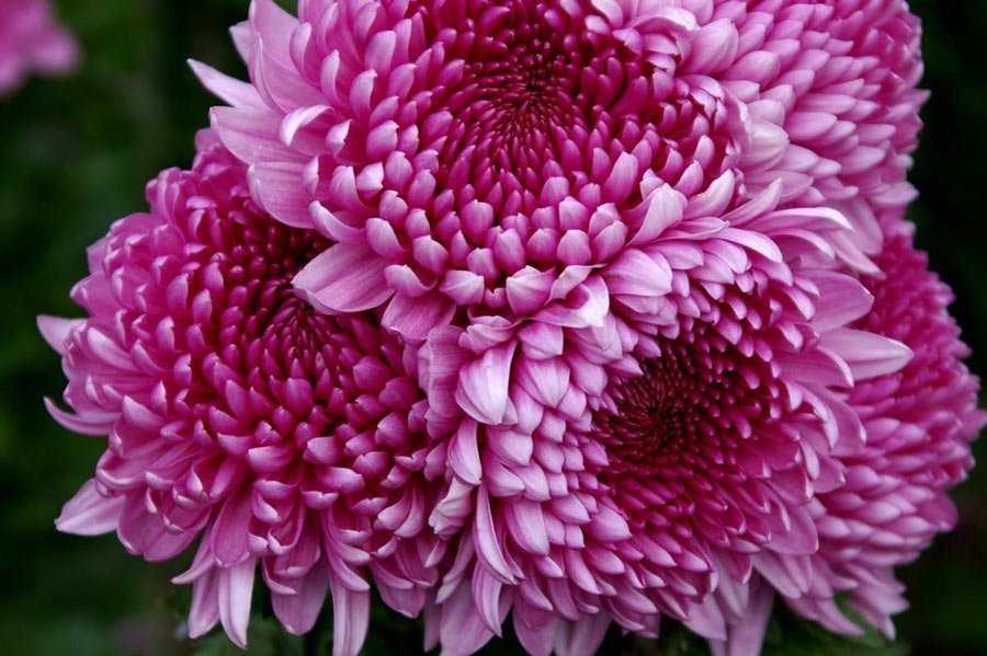 Белые хризантемы: сорта, особенности ухода, фото