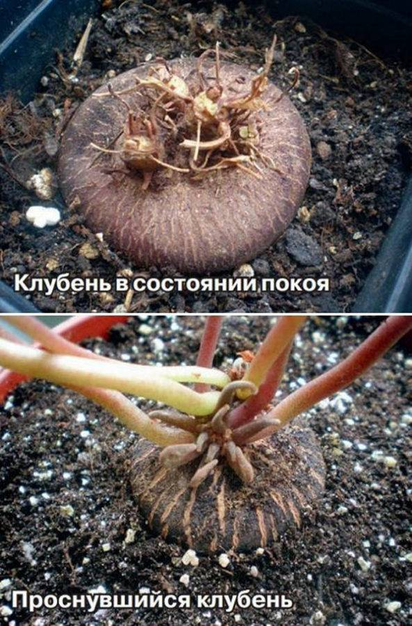 Почему не цветет цикламен: что делать и как заставить растение образовывать бутоны в домашних условиях?