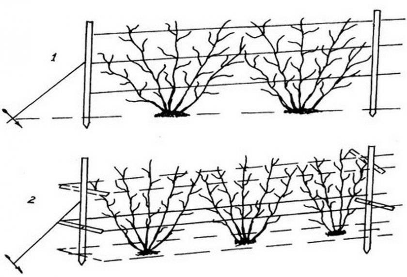 Как посадить крыжовник весной