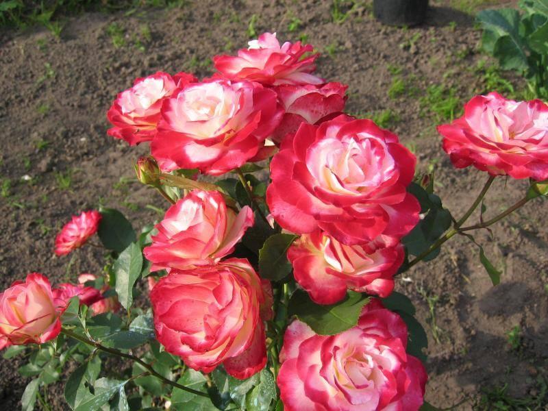 Уход и выращивание розы флорибунда: описание содержания и посадки в открытый грунт для новичков, особенности обрезки и укрытия на зиму, фото цветка