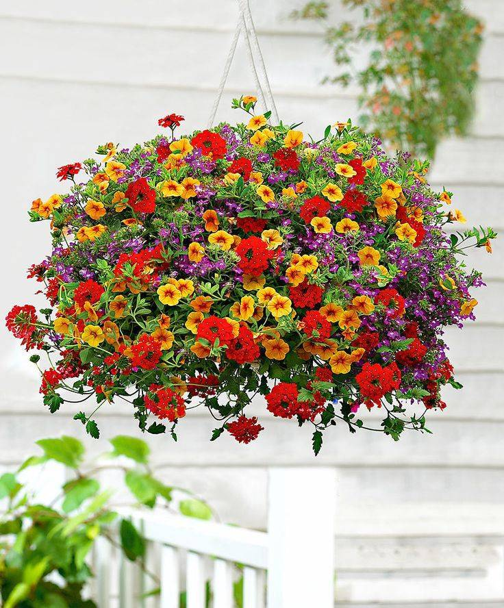 Калибрахоа: фото цветов, описание и уход, рекомендации
