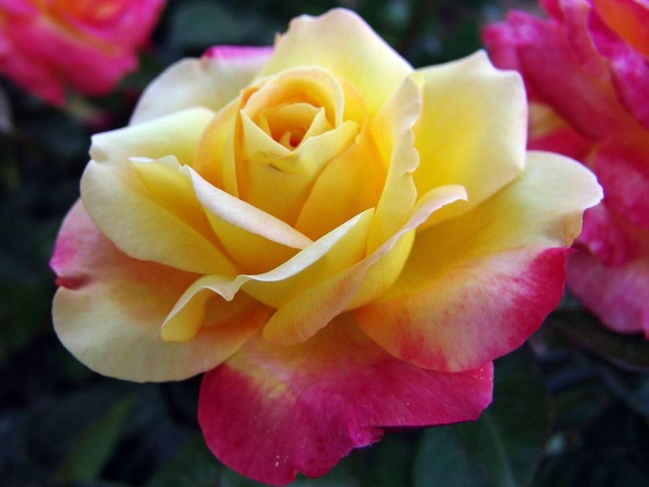 Описание плетистого сорта розы антик 89: как выращивать клаймбер, посадка и уход