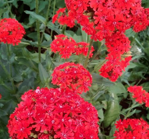 Лихнис халцедонский с красными цветами