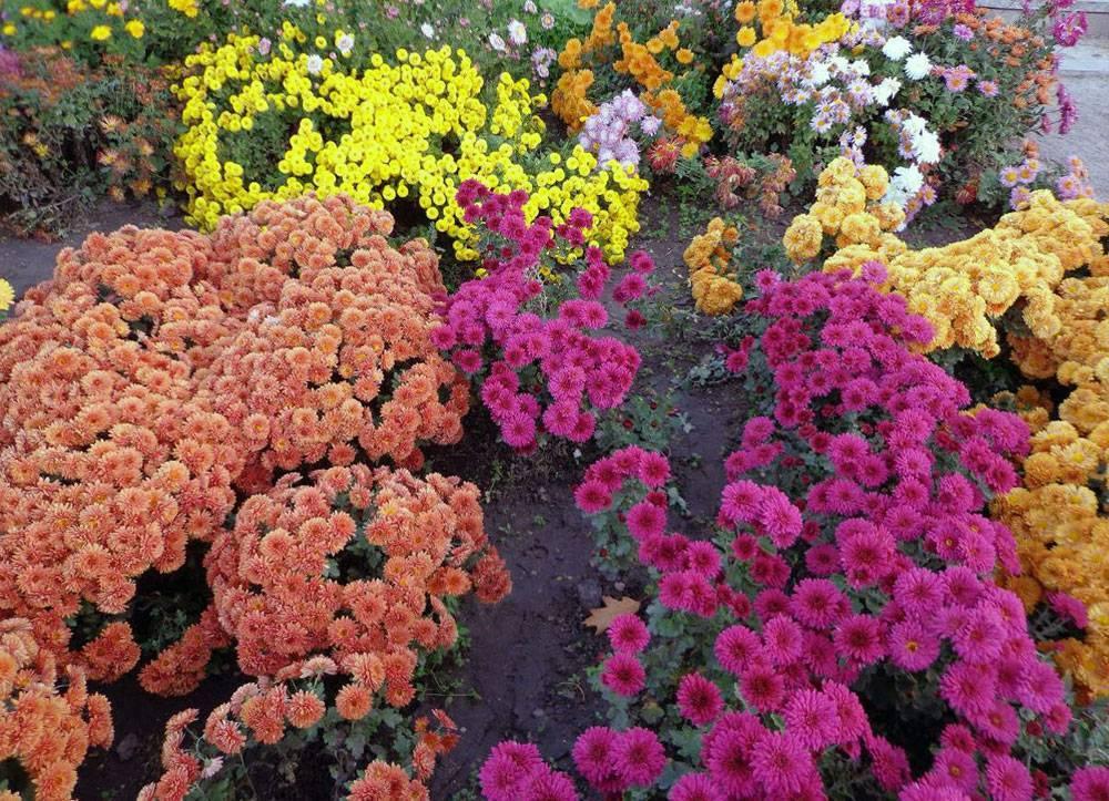 Каланхоэ садовое: откуда берет свои корни, как садить в открытый грунт и ухаживать за уличным растением, а также особенности размножения и фото на улице