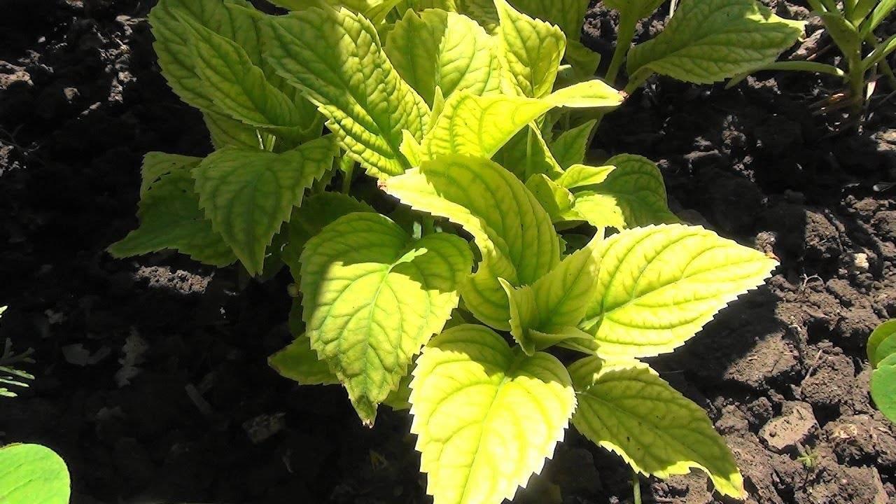Почему у гортензии желтеют листья и сохнут края — причины и лечение