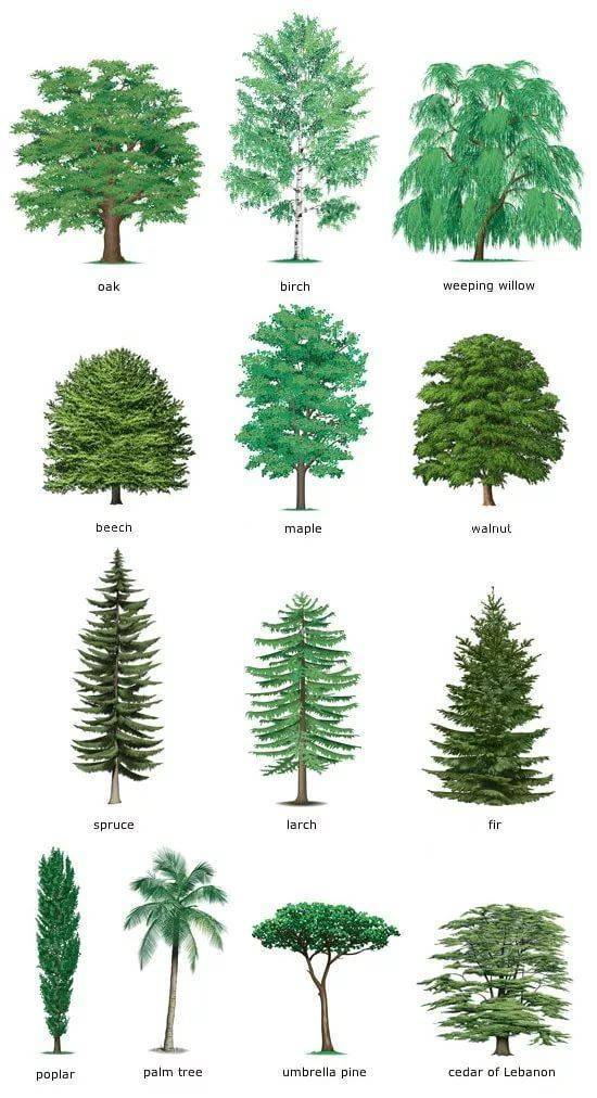 Какие деревья называются лиственными