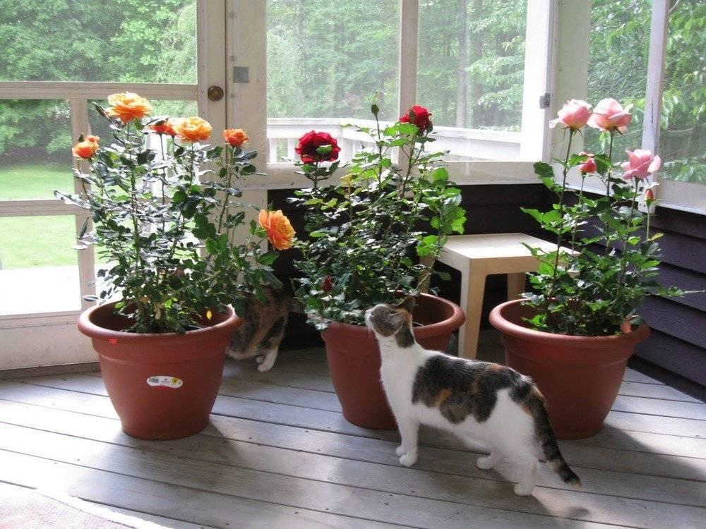 Особенности выращивания комнатных пионов в горшке
