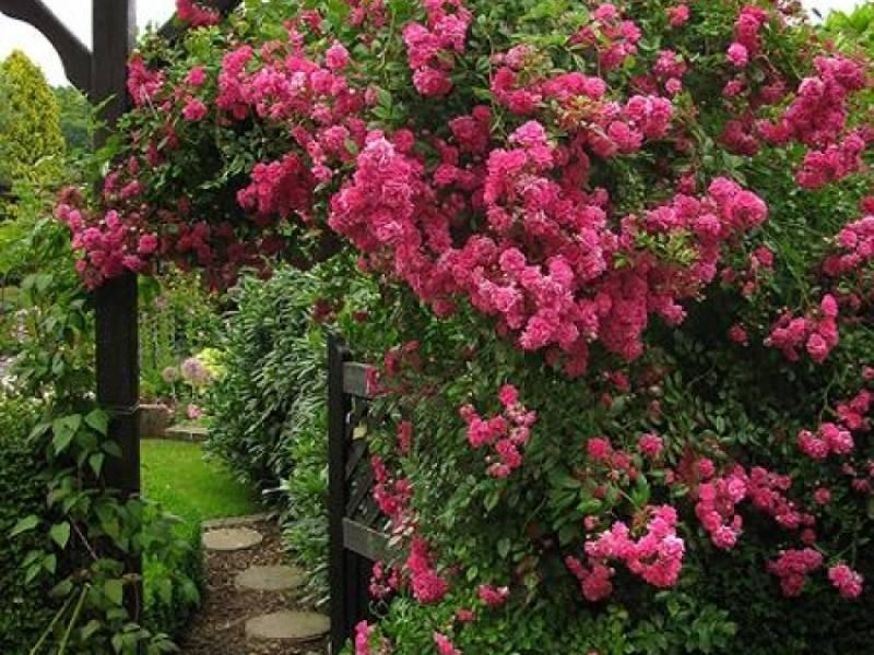 Характеристики сорта чайно-гибридной розы хай мэджик оранж: период цветения