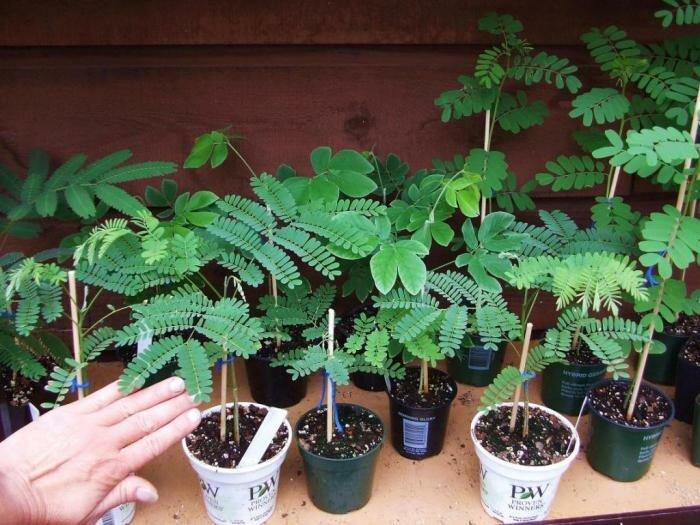 Мимоза цветок: условия выращивания и варианты ухода за растением