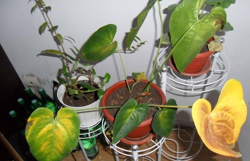 Почему вянут листья у антуриума. домашний антуриум: чернеют листья? лечим растение